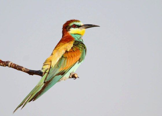 European Bee-eater. Photo by Richard Smith. Birdwatching in the Danube Delta. Romania.