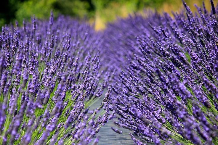 Chilcott is based on a lavender farm in the heart of Wales' Usk Valley.