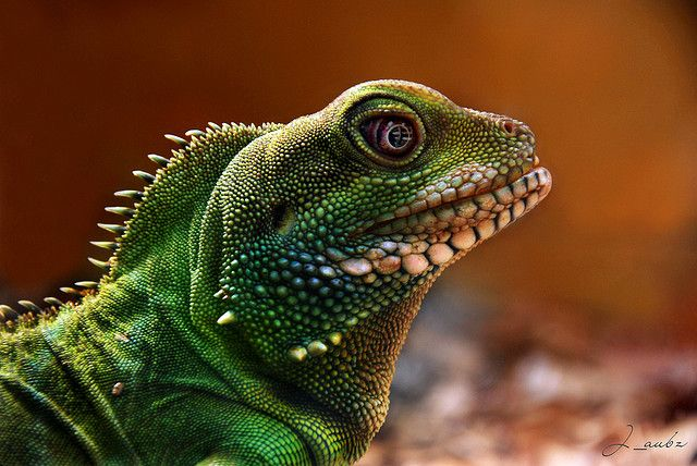 Chinese Water Dragon profile