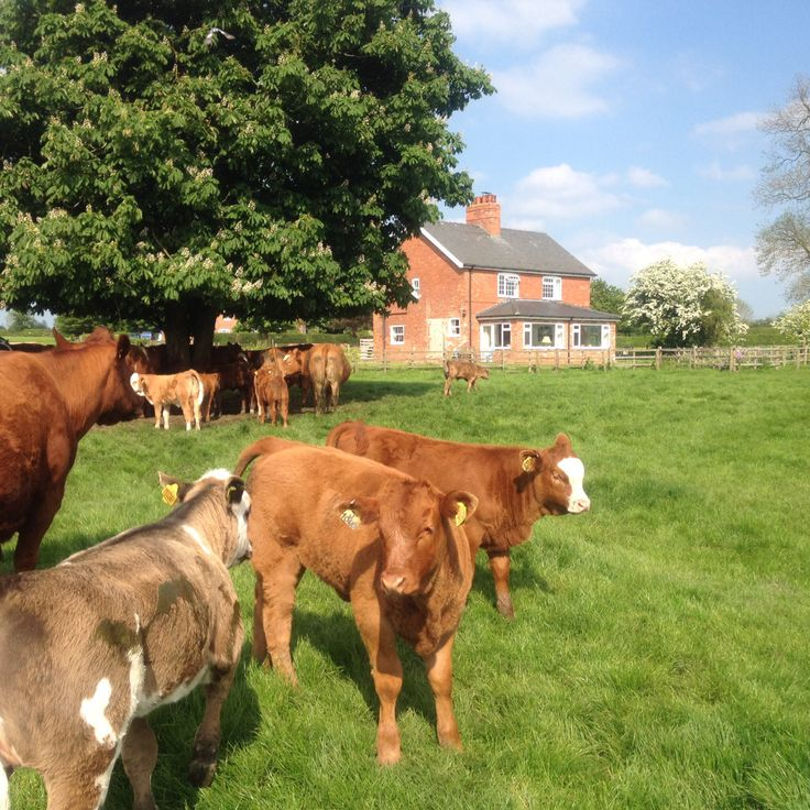 Some of this years calves provide entertainment for you while you stay in the cottages!