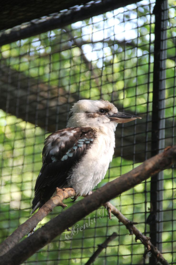 Kookabura at South Bend, Indiana Zoo 2015