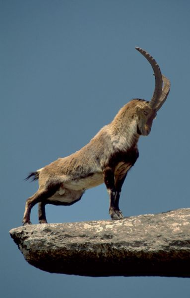 "The way Nubian Ibex (endangered species) is standing reminds me of ""The Lion…"