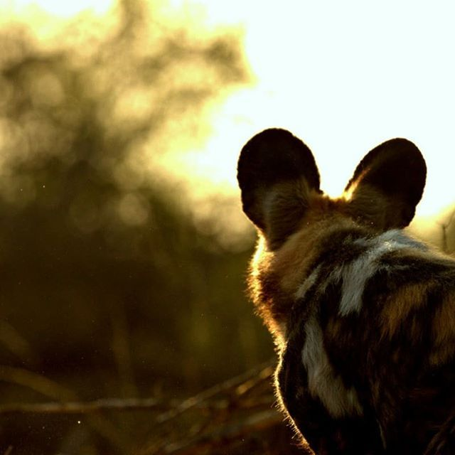 Marvel at the Timbavati sunset. . . . : @rey_loving_life  #Simbavati  #SimbavatiSafari  #Wildlife  #Animals #Nature #LoveAnimals #Safari #Sunset