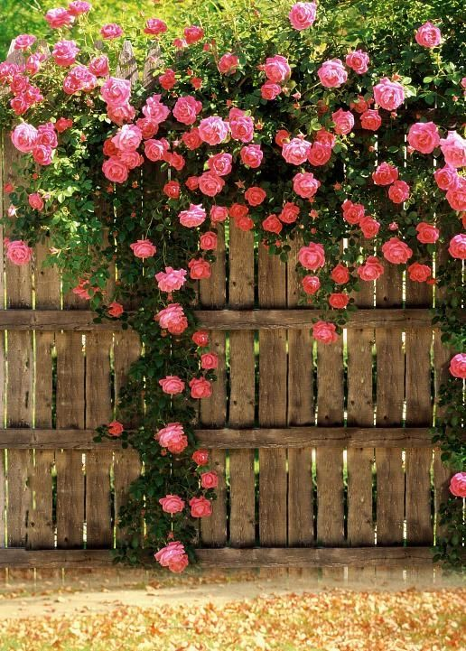 Love the climbing roses here.  http://www.preventivehomemaintenancetips.com/backyardfenceideas.php has some tips and advice on choosing the right type of fencing for your home.