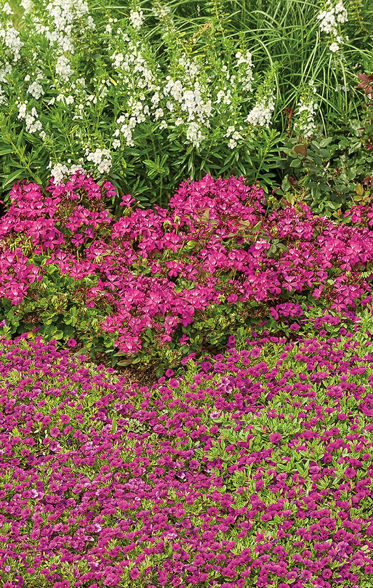 Superbells Garden Rose Calibrachoa Provides A Burst Of Low Lying Color In  Front, While Timeless