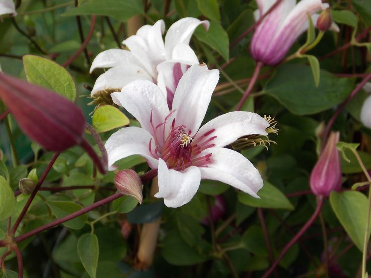 clematis texensis princess kate offers masses of larger bell shaped flowers in pure white with. Black Bedroom Furniture Sets. Home Design Ideas