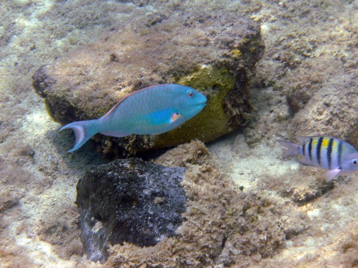 A cool ice blue #fish found while out #snorkeling