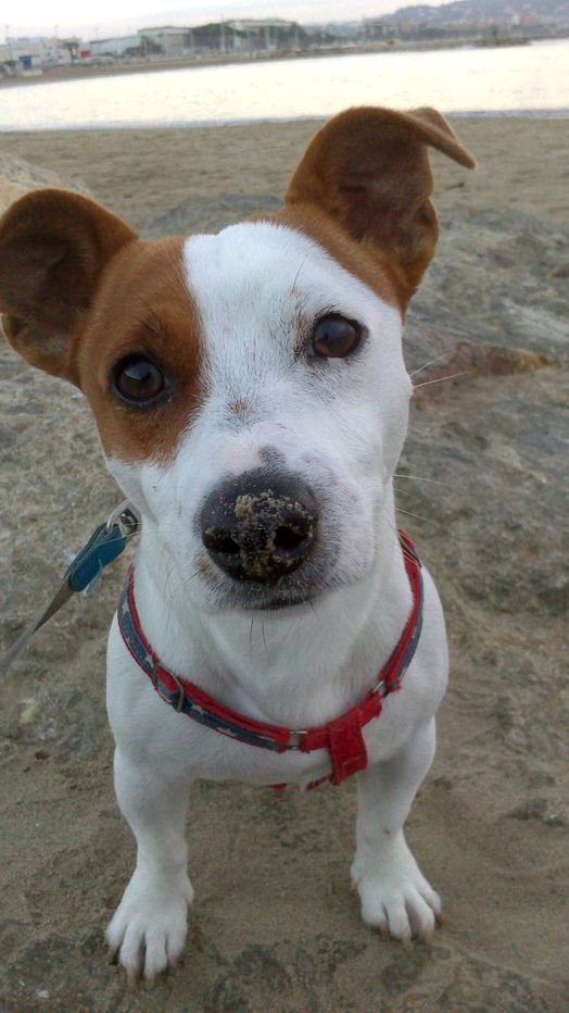 Dog - Jack Russell Terrier - gump on www.yummypets.com