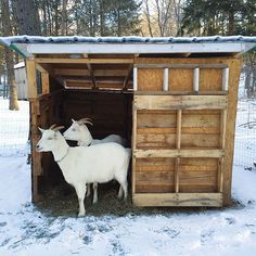 """""""Learn How to Build a Goat Shelter"""" This shelter made from scavenged wood pallets and leftover building materials keeps goats Bella and Lily warm and cozy. From MOTHER EARTH NEWS Magazine"""