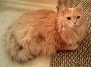 13 Best Kitties Images On Pinterest Long Hair Longer Hair And Kittens