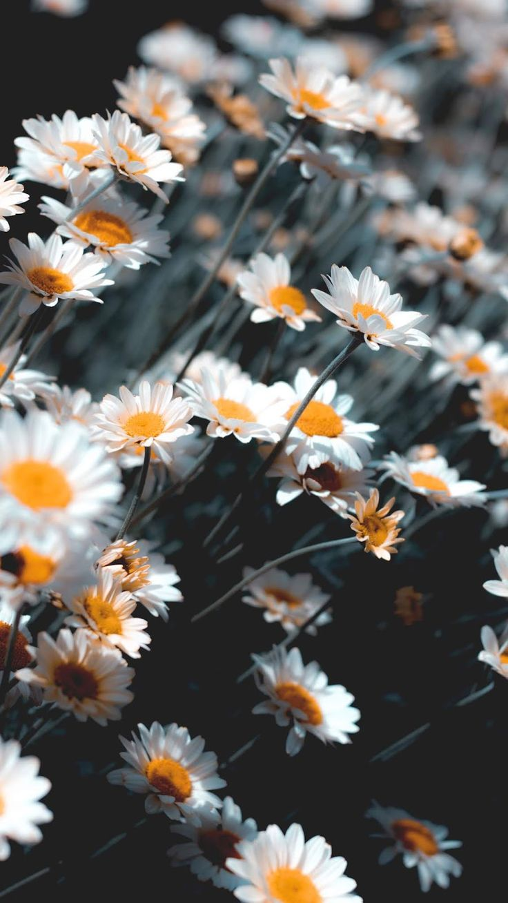 Chamomile android wallpaper