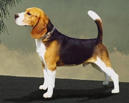 dijual anak anjing beagle bandung