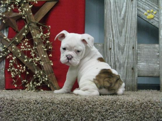 Bonita English Bulldog Puppy For Sale In Apple Creek Oh English Bulldog Puppies Baby Dogs Puppies