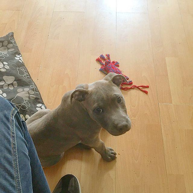 "Say hello to Obi! Ain't he a cutie? I used him as a subject for my Puppy school correspondence course! Can I use the excuse of ""my dog ate my homework?"" 🤣 . . . . . . . . . #wattsinthebox #dog #dogs #dogtoy #doggies #doglove #dogstagram #dogscorner #dogsofig #dogslife #dogsofinstgram #dogsofinsta #dogsandpals #staffy #staffie #sbt #staffygram #staffordshirebullterrier #sunday #weekend #puppy #puppylove #social #socialmedia #socialmediamarketing #pets #sundayfunday #puppyeyes #happy by…"