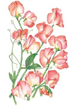 Sweet pea Princess Elizabeth (botanical interests) - prefers a little afternoon shade