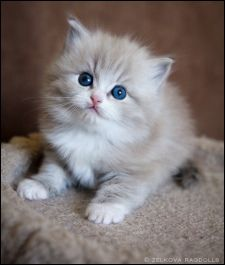 Ragdoll cat for sale canberra