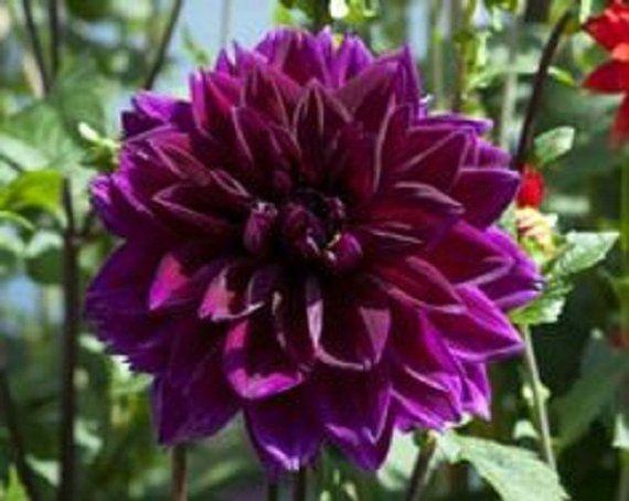 Deep Purple Dahlia Flower Seeds Annual 10 Flower Seeds Flower Farm Dahlia Flower