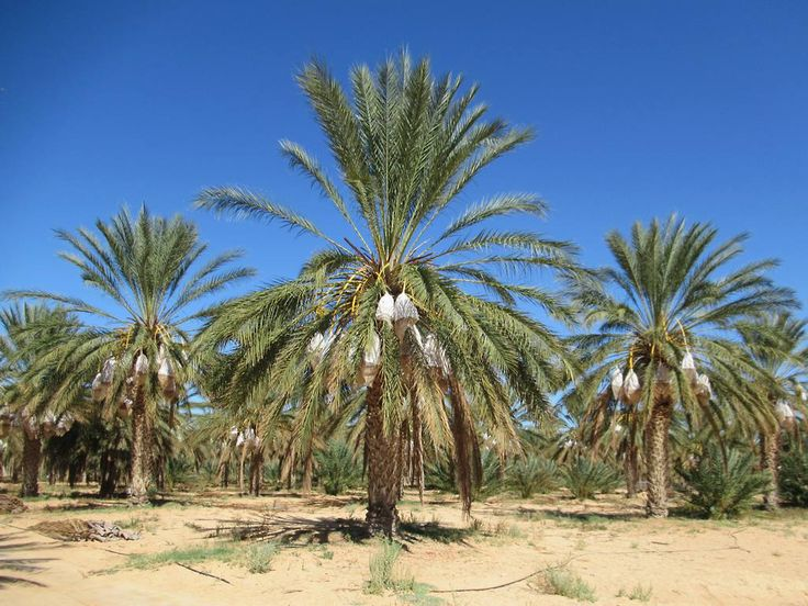 The palmeraies of the southern Tunisian oases of Tozeur and Douz contain hundreds of thousands of date palms.