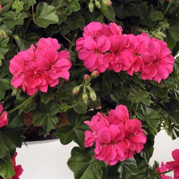 Geranium lierre double Rocky - Pelargonium peltatum - Une plante compacte et ramifiée aux fleurs semi doubles rose fuchsia