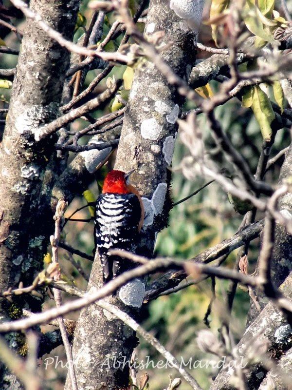 Rufous bellied woodpecker