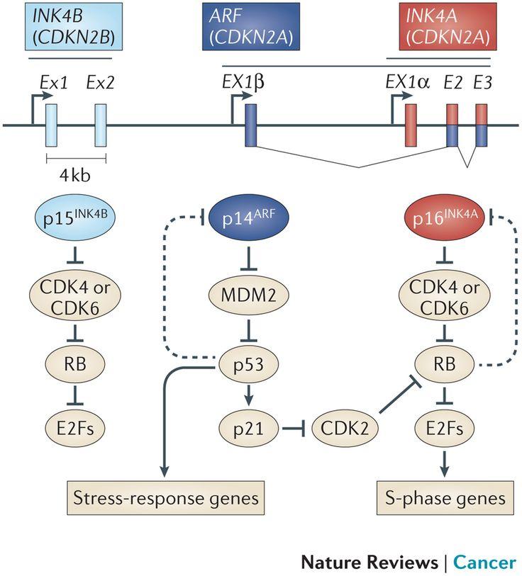 The CDKN2A-CDKN2B locus.