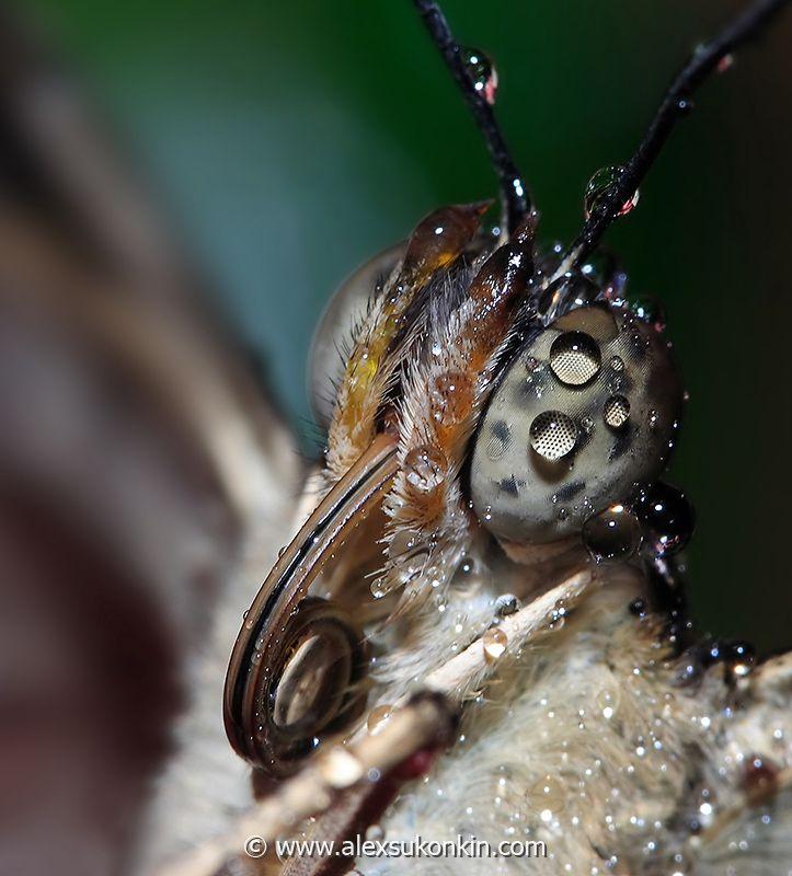 Get wet!  wet-butterfly-eye.jpg - [en]Wet closeup portrait Canon 300D,   Canon 100mm f2.8 macro  USM [ru]Мокрый портрет Canon 300D,   Canon 100mm f2.8 macro  USM