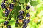 How to Care for Blackberry Bushes | eHow