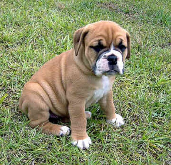 english bulldog boxer mix puppies for sale 20 best images about puppies on pinterest english 6377