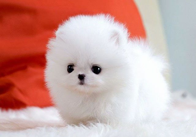 Foto Rolly Teacup Puppies Cuteteacuppuppies Foto Rolly Teacup Puppies Teacup Puppies Puppies Cute Baby Animals