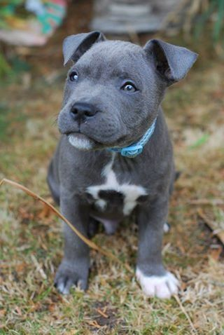 blue bull terrier 25 best ideas about american staffordshire terriers on 5842