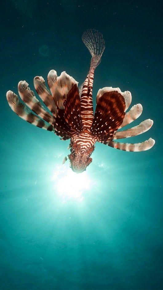 lionfish fish red sea underwater крылатки рыбы