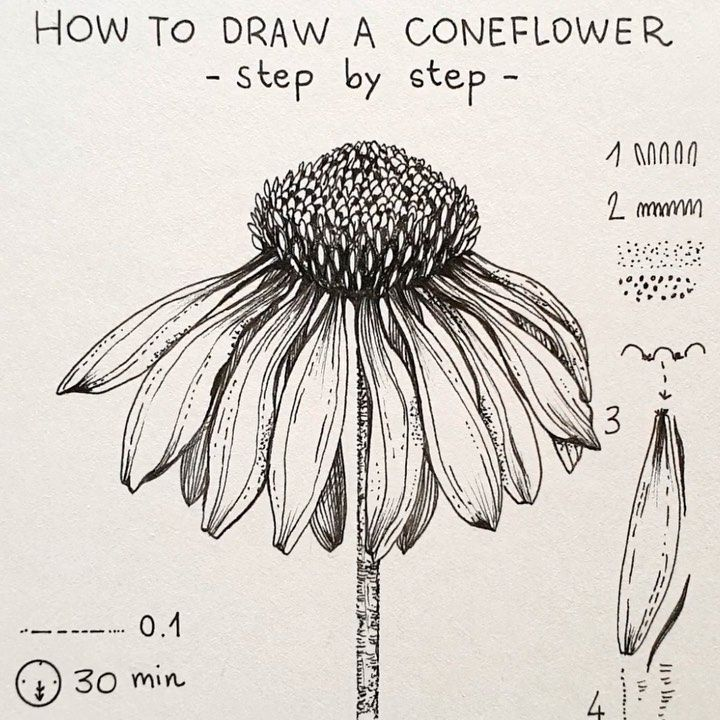 Alice On Instagram Coneflower Today S Flower Coneflower Echinacea Step By Step W In 2020 Flower Art Painting Wildflower Drawing Flower Sketches