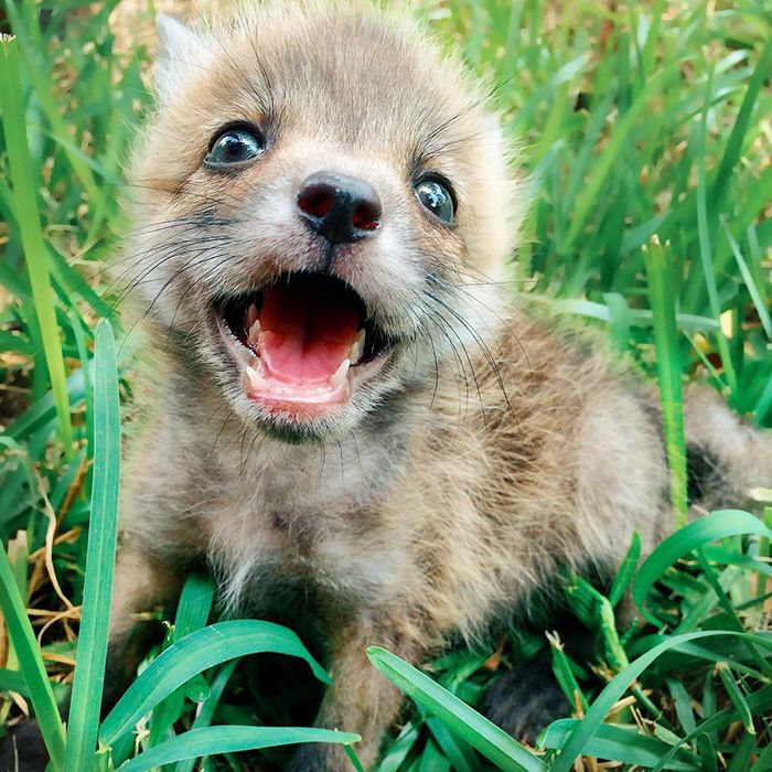 The Best Domestic Fox Ideas On Pinterest Dog Dip Image - Domesticated baby fox is the cutest and sleepiest pet ever