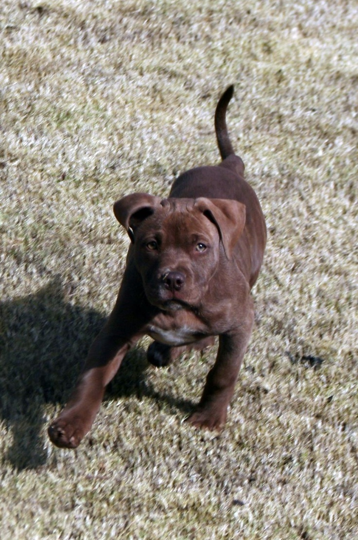 Pitbull puppies for sale in indiana - Blue Red Nose Brindle Pitbull Puppy