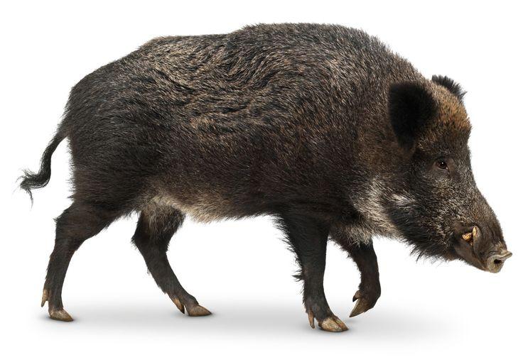 Дива свиня / Wild Boar