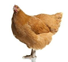 A great site on types of chickens. Which are the best egg laying hens, most docile and easiest to raise