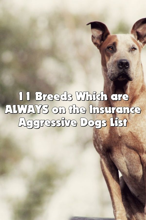 11 Breeds Which Are Always On The Insurance Aggressive Dogs List