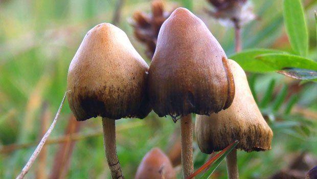 Psilocybin mushroom cures Cigarette addiction