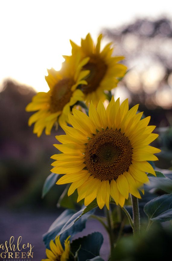 Autumn Sunflowers at the Golden Hour; Colby Farm, Newbury Massachusetts Photograph