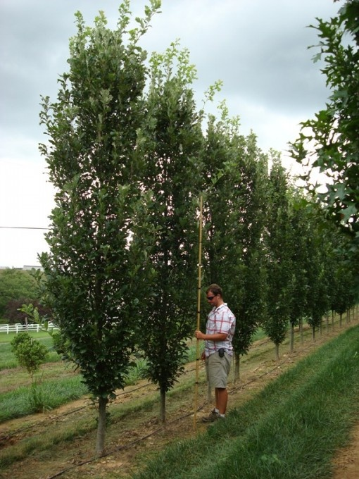 33 best fastigiate trees images on pinterest plant for Narrow trees for tight spaces