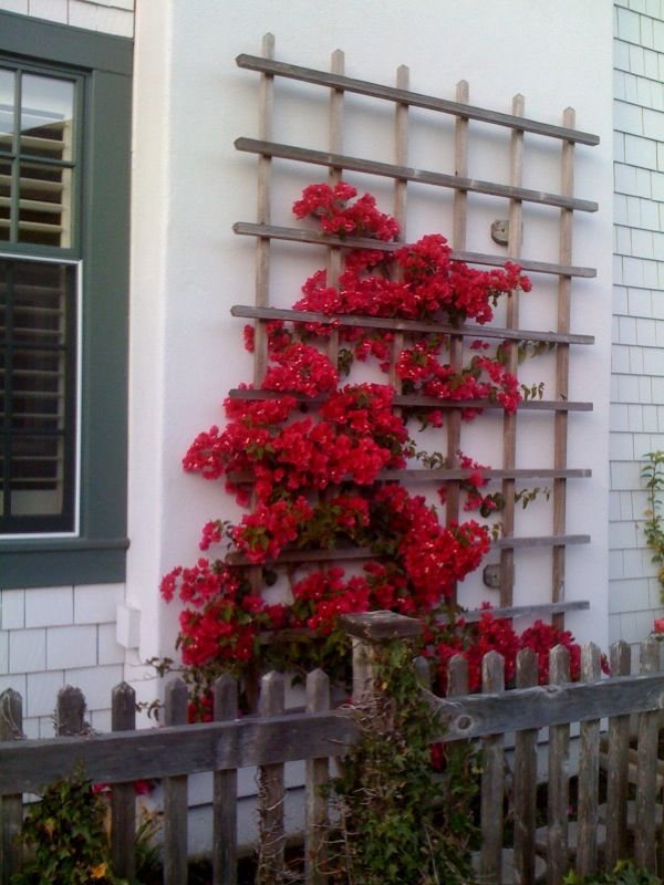 25 Best Ideas About Bougainvillea Trellis On Pinterest