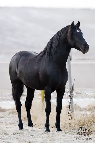 horse images grey appys | have always loved black horses and palominos though.