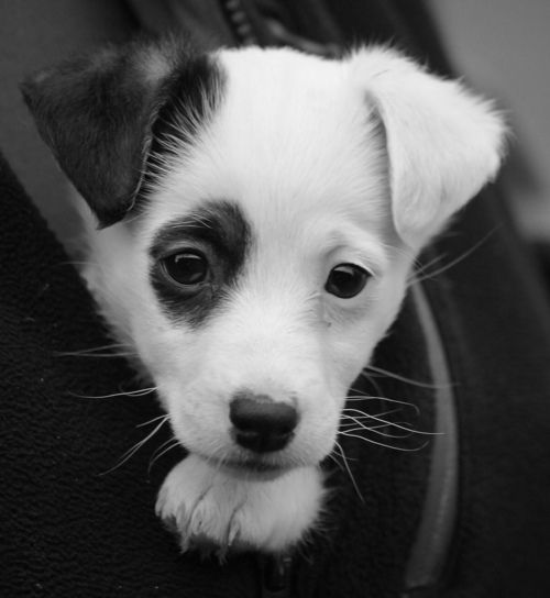 Jack Russell Terrier (Black Patch) on Ear and Eye! #JackRussell #Dog I want one!!