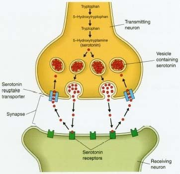 15 best the nervous system images on pinterest nervous system this image gives a brief yet detailed visual representation of neurotransmitters and how they are ccuart Images