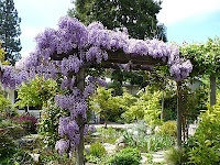 Wisteria- how to grow and care for
