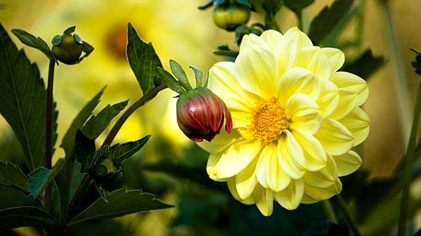 Dahlien pflanzen und pflegen. (Quelle: imago/CHROMORANGE)