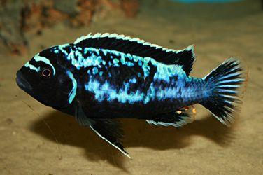 Pseudotropheus msobo magunga