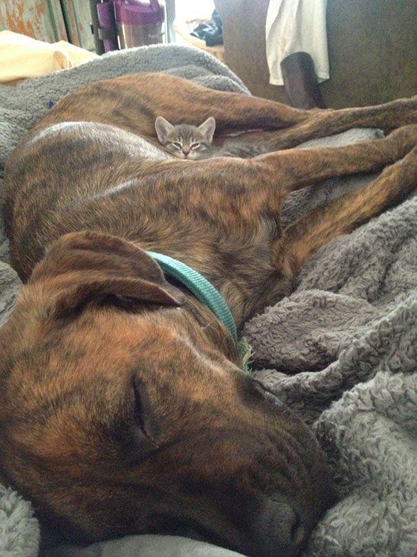 cats_sleeping_on_dogs_14