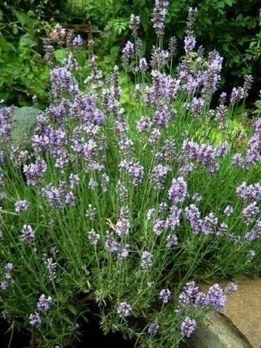 Lavanda - Lavandula angustifolia - Piante da Giardino - Lavanda - Lavandula angustifolia - Arbusti
