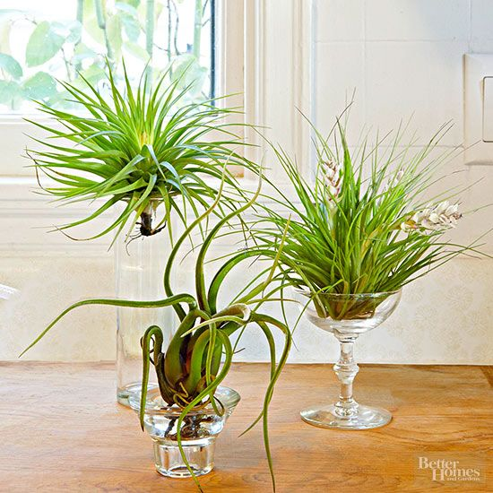 Air Plant Display Ideas Plants Amp Garden Air Plants Care Air Plant Display Plants